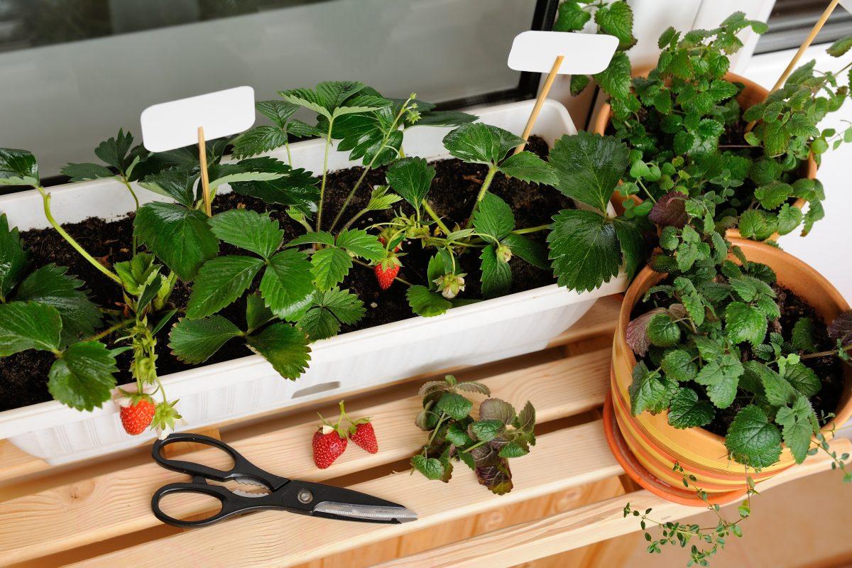 Czy na balkonie można uprawiać owoce?