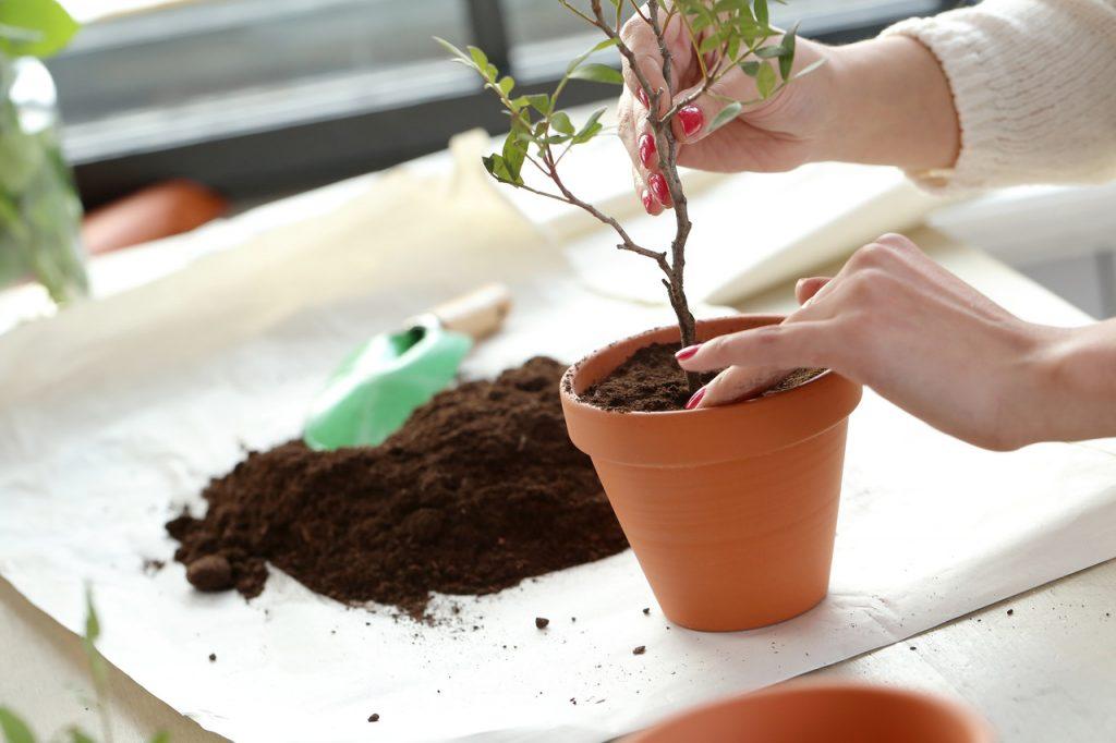 kobieta sadzie krzewy w donicy