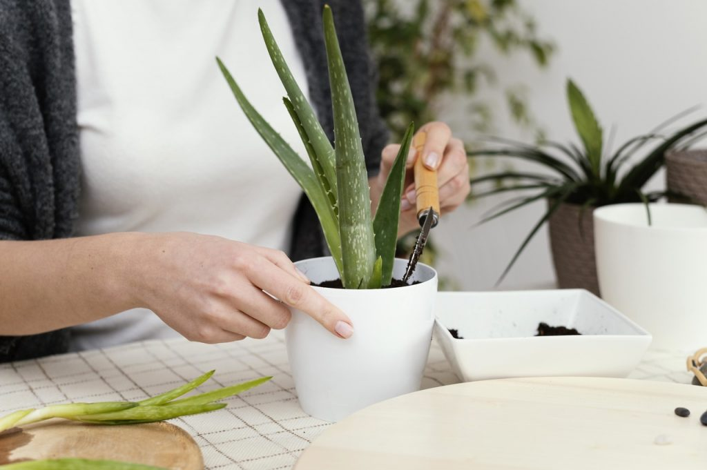 sadzenie aloesu w domu